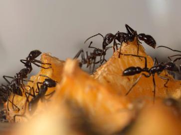 formiche Super