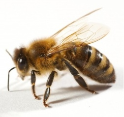 treat_bee_and_wasp_stings_to_reduce_swelling_and_by_knowing_the_symptoms_of_an_allergy