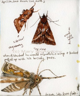 cbrown-moth-studies-4-30-10