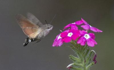 falena-colibri-falco