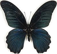 farfalla nera2