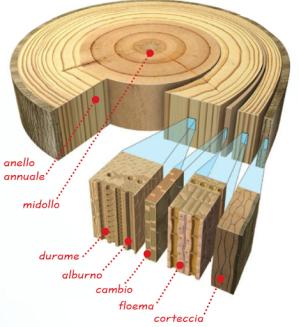 parti interne del tronco
